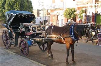 """إنذار من رئيس مدينة الأقصر لسائقي الحنطور والتأكيد على الالتزام بـ""""حفاضات"""" الخيول"""