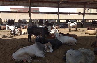 محافظ بورسعيد: محطة تسمين الماشية تستقبل 500 رأس ماشية كمرحلة أولى استعدادا لعيد الأضحى | صور