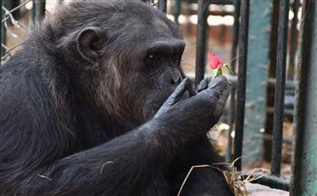 """حدث في حديقة الحيوان.. انفصال الشمبانزى لوزة وزواجها من """"دودو """".. والسبب مثير للدهشة"""