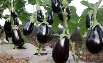 وكيل وزارة الزراعة بدمياط يتفقد زراعات الباذنجان