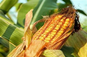 """""""الزراعة"""" تصدر نشرة بالتوصيات الفنية لمزارعي محصول الذرة الشامية"""