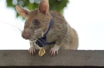 أشهر فأر مكتشف للألغام يتقاعد بعد مسيرة حافلة بالجوائز