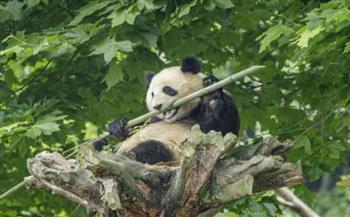التحسن الكبير للبيئة الإيكولوجية للحيوانات البرية المهددة بالانقراض في الصين