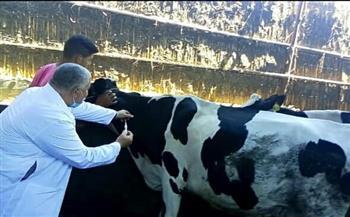 تحصين 279 رأس ماشية فى المحمودية