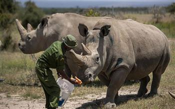 إغلاقات كورونا تنقذ جزئيًا حياة وحيد القرن فى جنوب إفريقيا