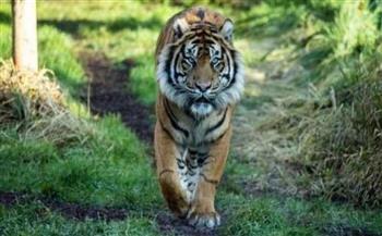 كورونا يضرب نمري سومطرة المهددان بالانقراض بحديقة حيوانات في إندونيسيا