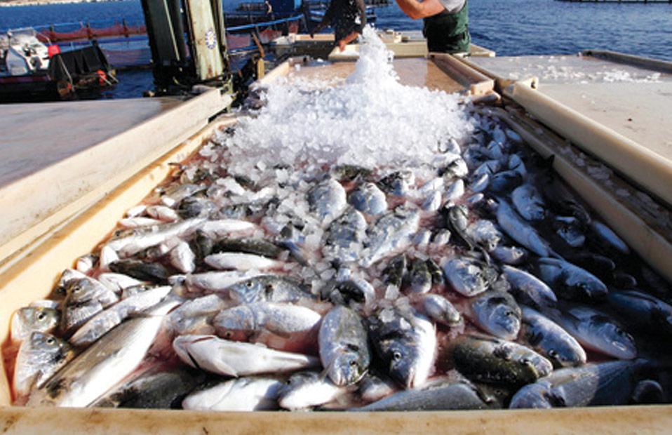 أسعار السمك اليوم الإثنين  سبتمبر