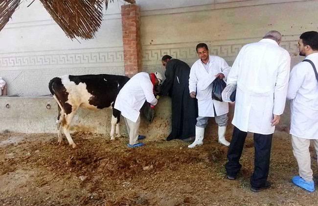 تحصين  ألف رأس ماشية ضد الحمى القلاعية في الغربية