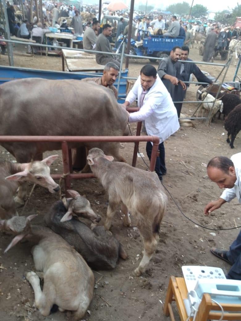 سوق المواشي بطنطا وفحص وتحصين الماشية المترددة عليه