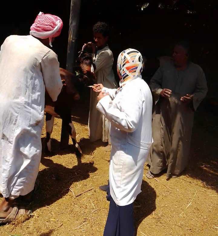 حملات لمجابهة إنفلونزا الطيور وتحصين الماشية ضد الحمى القلاعية بأسوان