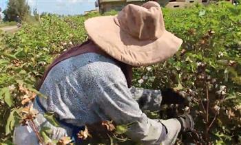 زراعة-دمياط-جني-أول-حقل-قطن-جيزة--طويل-التيلة- -صور-
