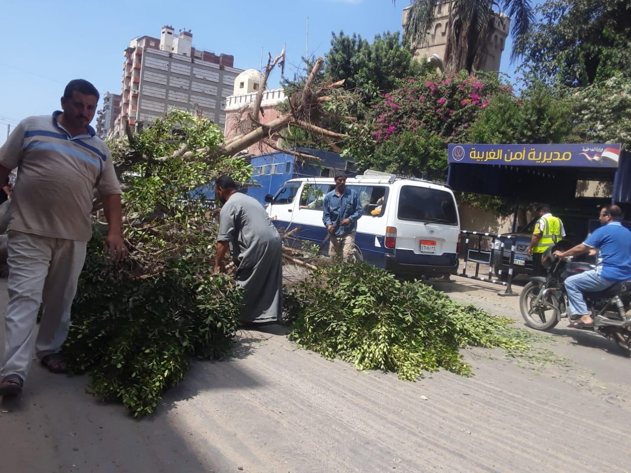 إزالة أقدم شجرة معمرة أمام سجن طنطا العمومي