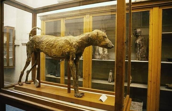 استخدمه المصري القديم في الصيد كل ما تريد معرفته عن الكلب السلوقي   صور