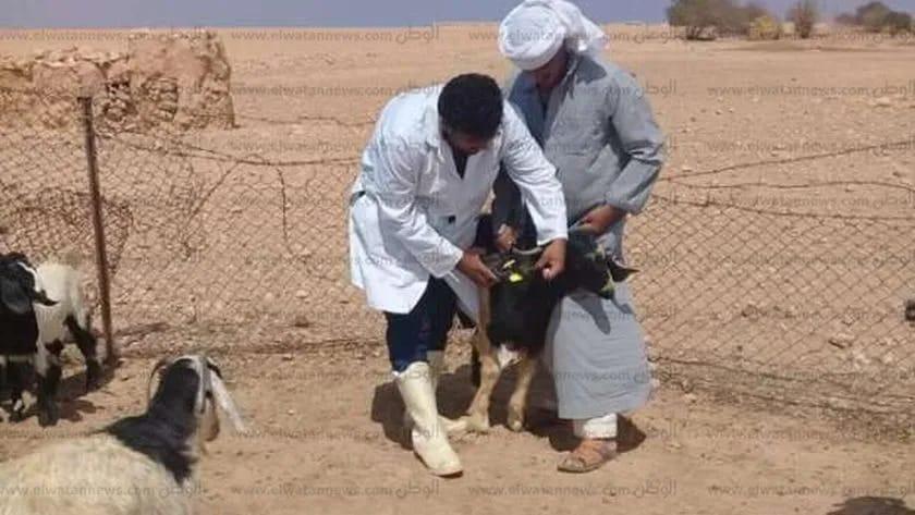 تحصين  رأس أغنام وماعز ضد مرض طاعون المجترات الصغيرة بكفر الشيخ