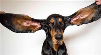 الكلب-;لو;-يدخل-موسوعة-جينيس-بفضل-طول-أذنيه