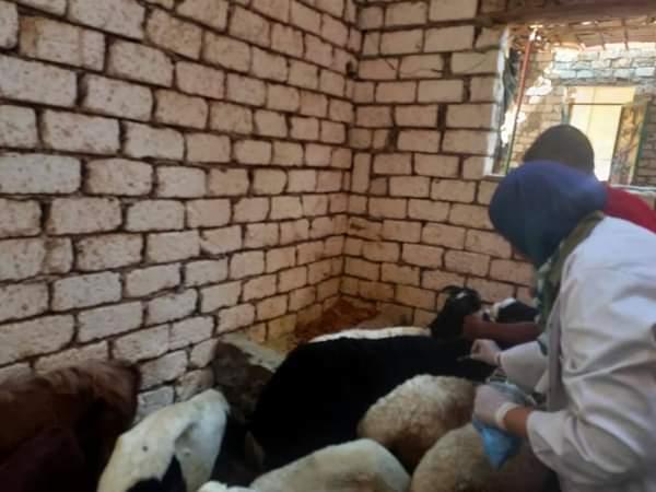 تحصين الماشية ضد طاعون المجترات الصغيرة