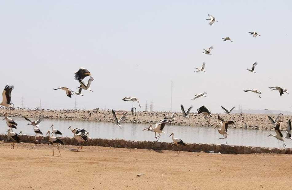 محافظ جنوب سيناء يتابع أسراب ;اللقلق الأبيض; المهاجرة بشرم الشيخ